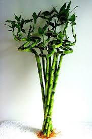Spiral Lucky Bamboo - Trees for Sale