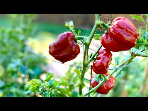 🌶 Live: 4 More Tips on Growing Peppers Over the Winter and Book Giveaway Drawing (REPLAY)